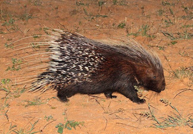 Cape porcupine (Hystrix africaeaustralis), South Africa