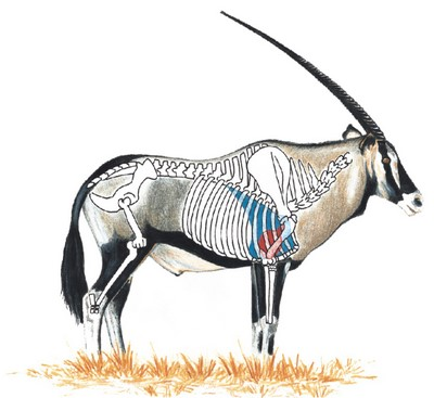 Gemsbok diagram