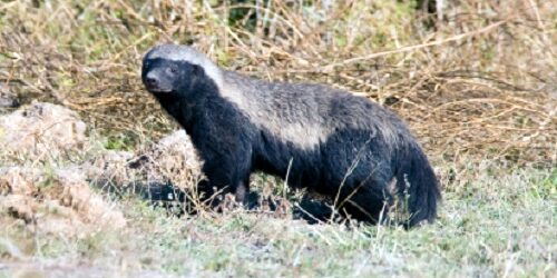Honey Badger - Ratel