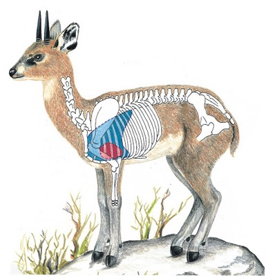 Klipspringer Diagram