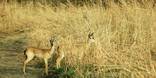 Male & Female Oribi