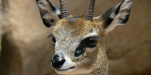Male Klipspringer
