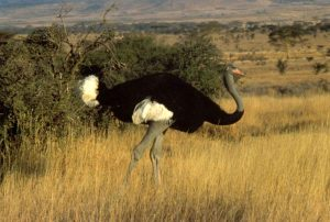Somali Ostrich - When in breeding trim, the legs & neck turn bright blue