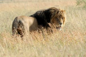 'Top Quality' South African Captive-Bred Lion