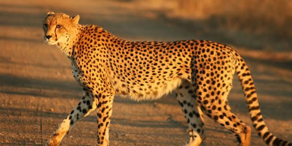 cheetah3-large