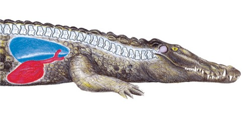 crocodile diagram