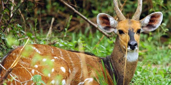 nile-bushbuck-large