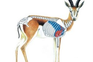 springbok-diagram