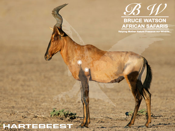 Hartebeest Perfect Shot