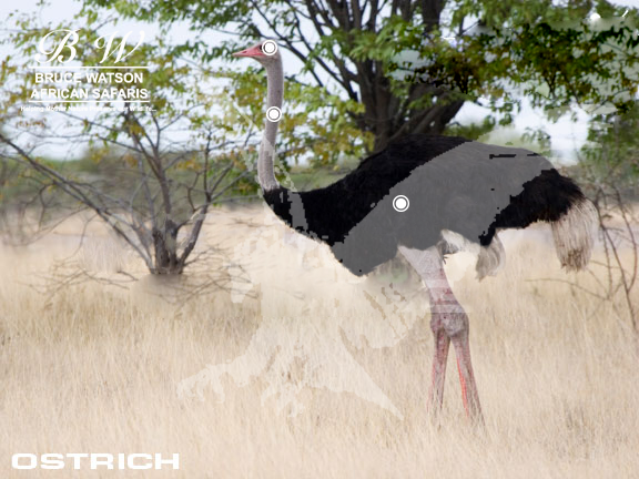 Ostrich Perfect Shot Rifle
